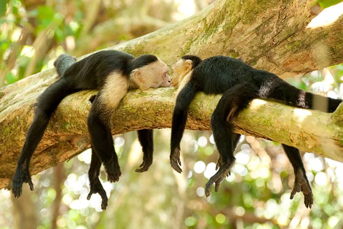 Monkeys, Costa Rica Rainforest