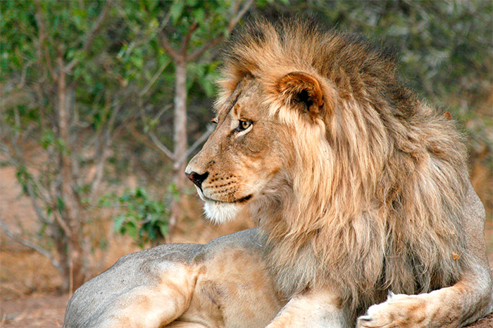 Lion - South Africa & Botswana Safari