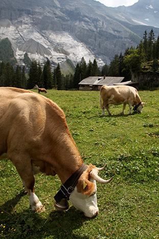Grazing cows in a Swiss meadow