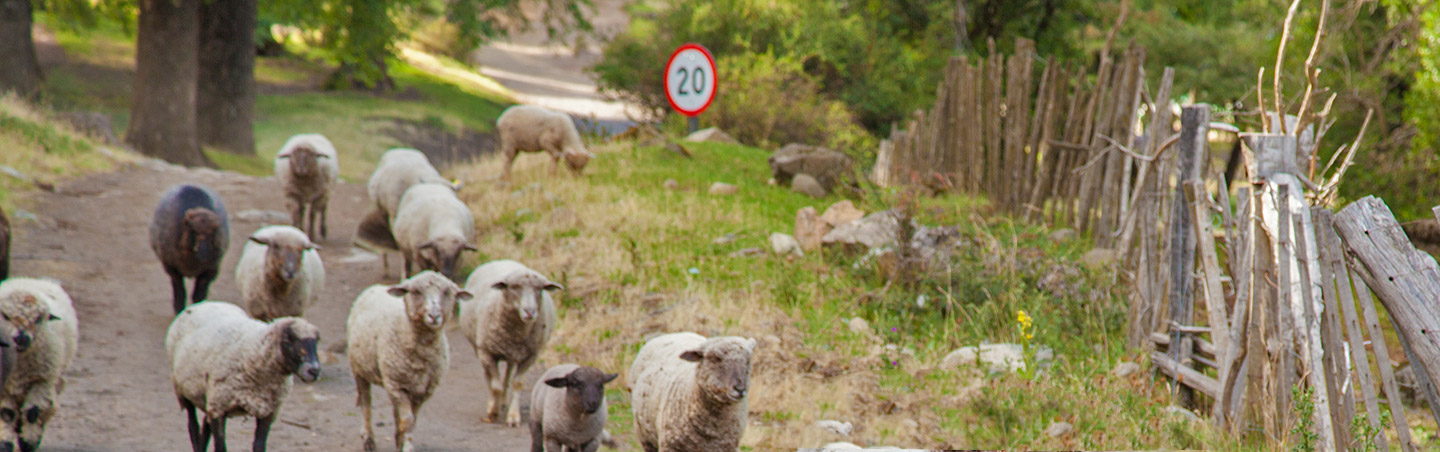 Sheep - Backroads Argentina Lake District Family Multisport Tours