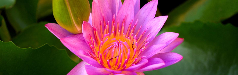 Pink Flower - Backroads Bali Family Bike Tours