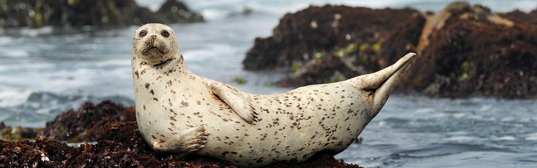 Sea Lion, California Coast