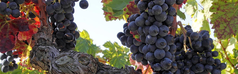 Wine Grapes - Chablis & Burgundy Bike Tour
