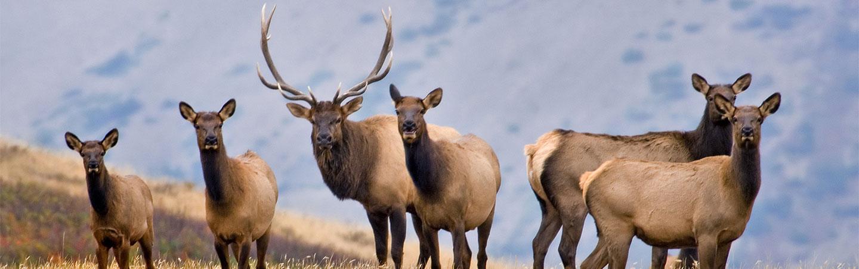 Elk on Backroads Canadian Rockies Bike Tour