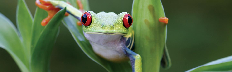 Frog - Backroads Costa Rica Bike Tours