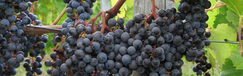 Vineyard Grapes - France