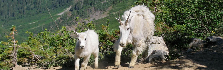 Mountain Goats - Backroads Glacier & Waterton Lakes Bike Tour