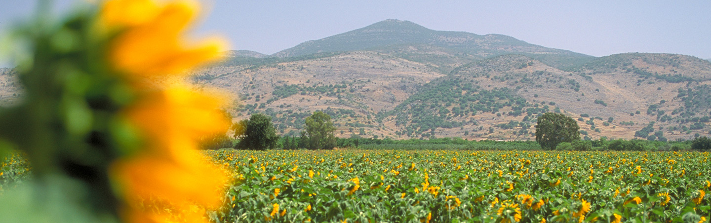 Sunflowers in Israel