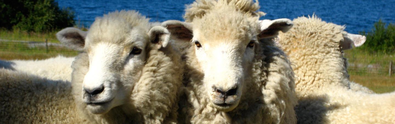 Sheep on Backroads New Zealand Bike Tour