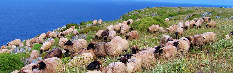 Sheep in Puglia, Italy