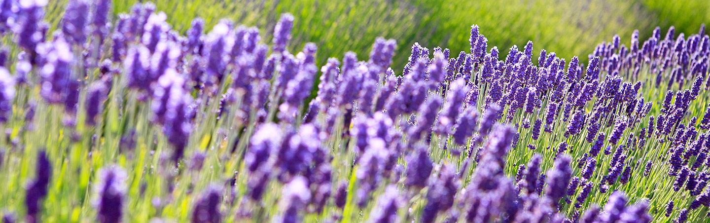 Lavender, San Juan Islands, Washington