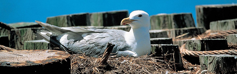 Western Gull, San Juan Islands, Washington