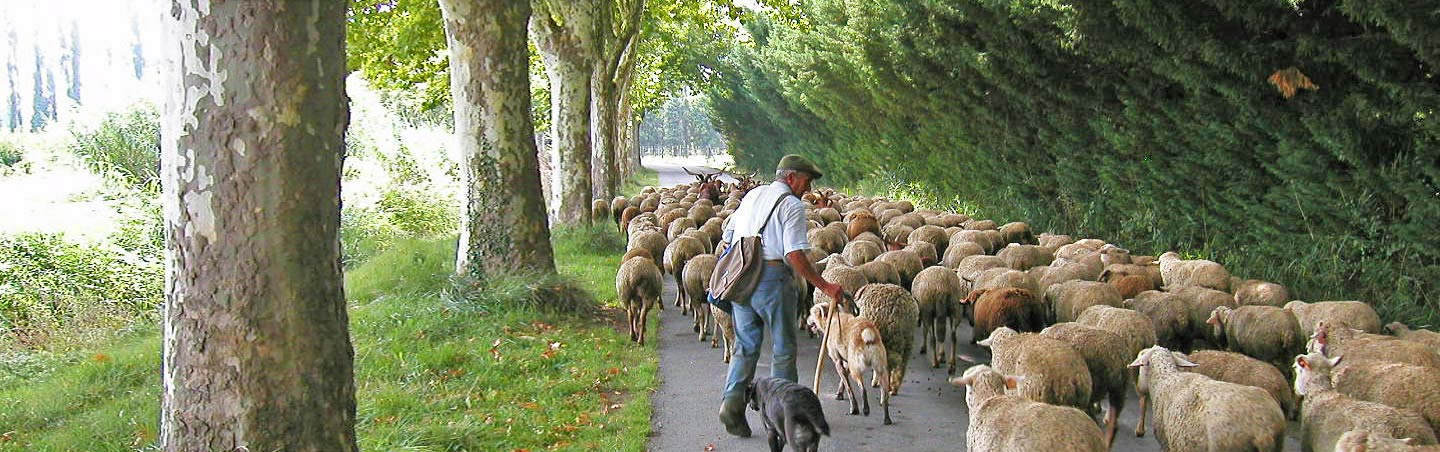 herding sheep in Provence, France