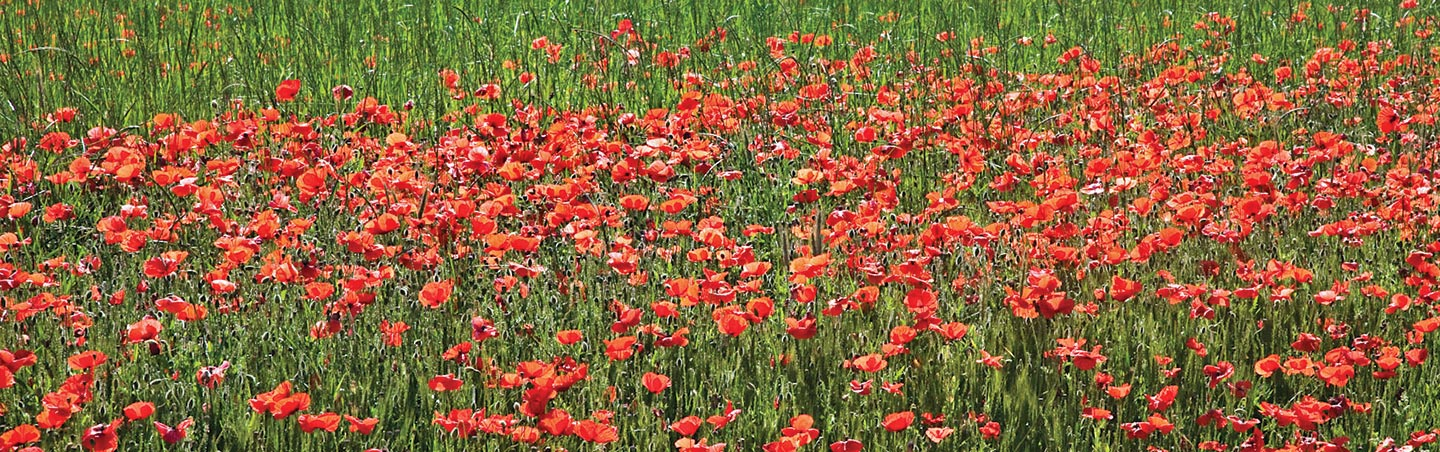 Red flower field in Spain
