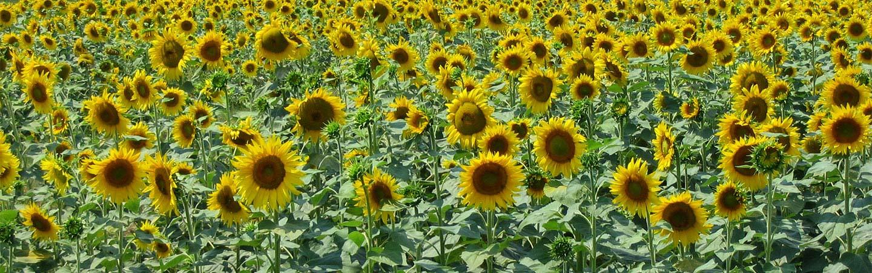 Sunflower Field, Italy