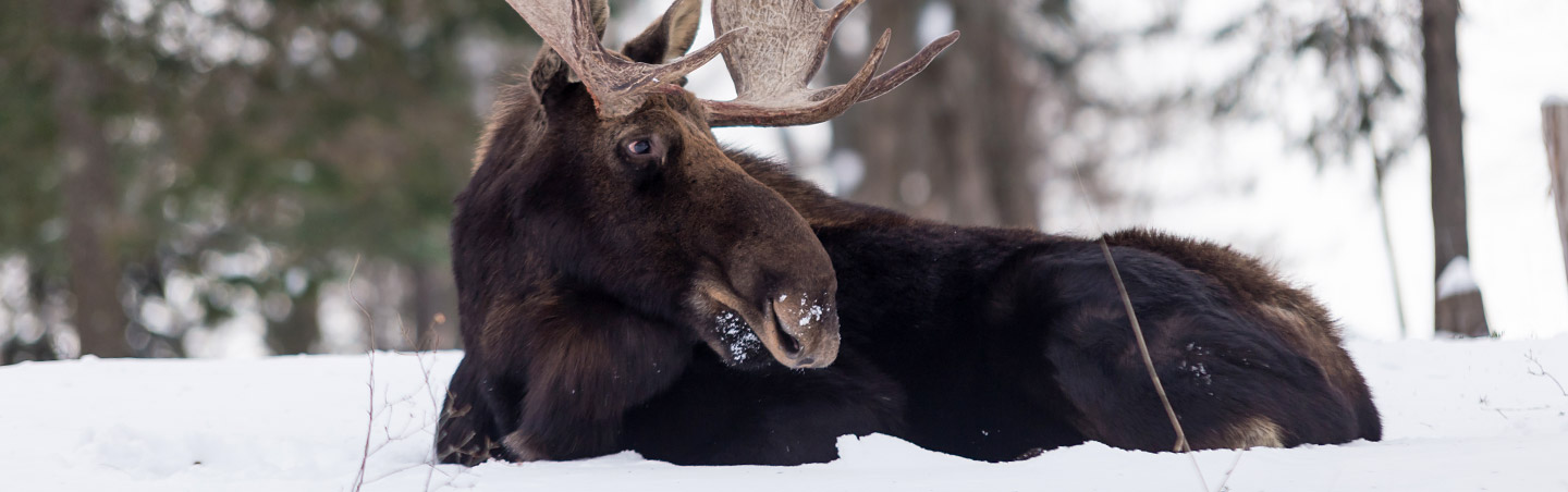 Moose in the Canadian Rockies - Snow Adventure Tour