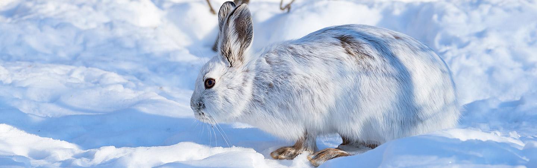 Winter Hare - Backroads Canadian Rockies Snow Adventure Tour