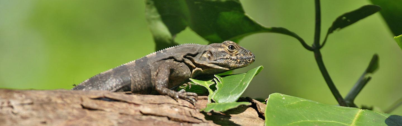 Iguana - Backroads Costa Rica Multisport Adventure Tour