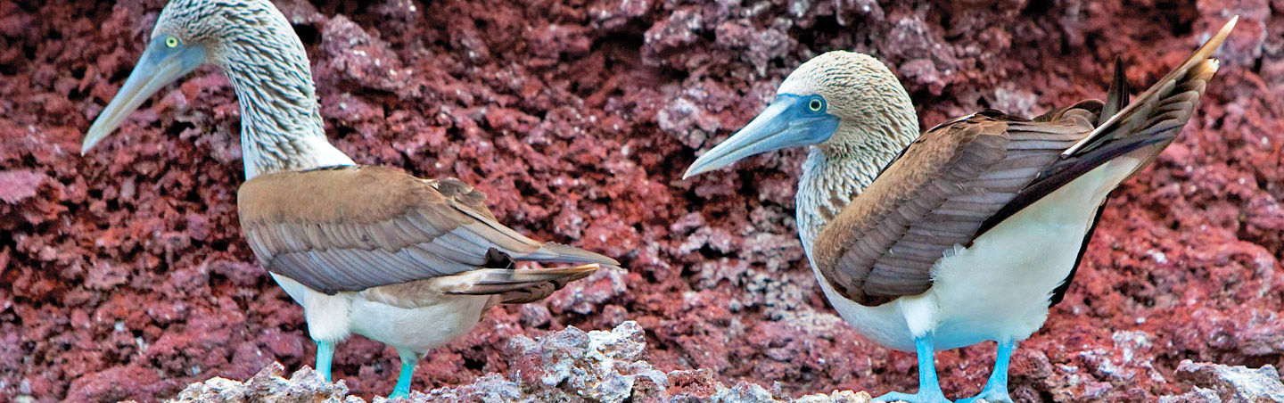 Blue footed boobies on Galapagos & Andes Family Multisport Tour