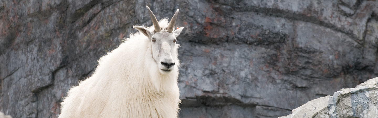 Mountain goat in Canadian Rockies