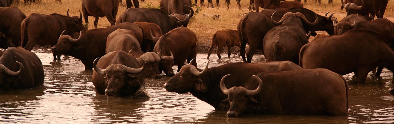 Water Buffalo in Africa
