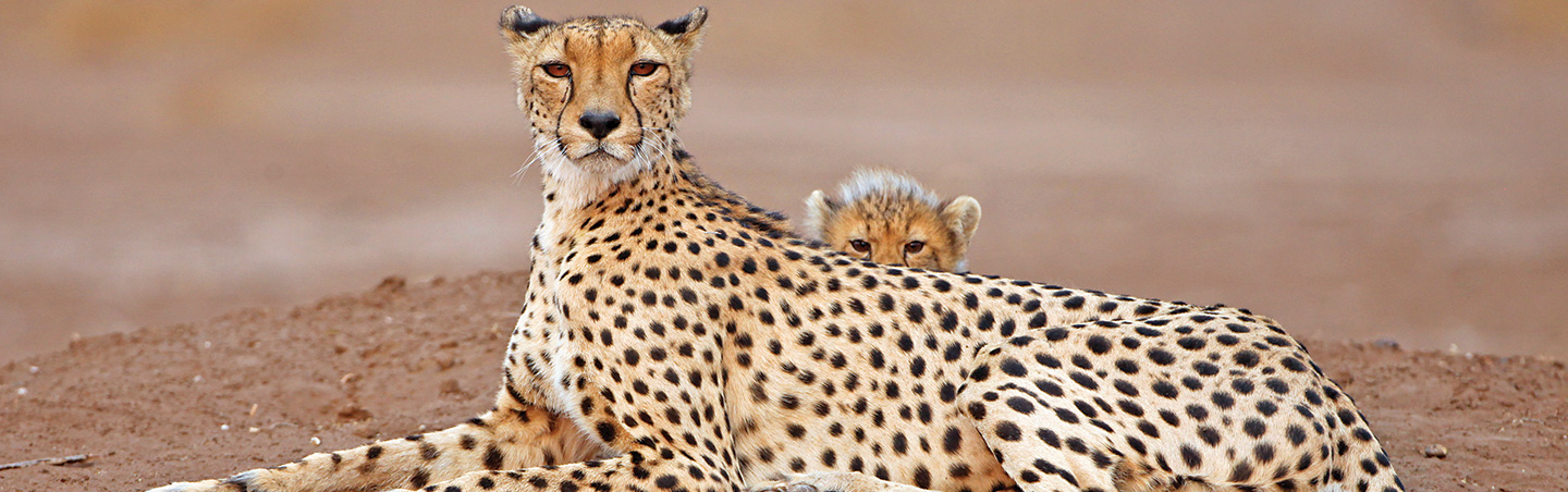 Cheetahs - Backroads South Africa & Botswana Family Breakaway Multisport Adventure Tour
