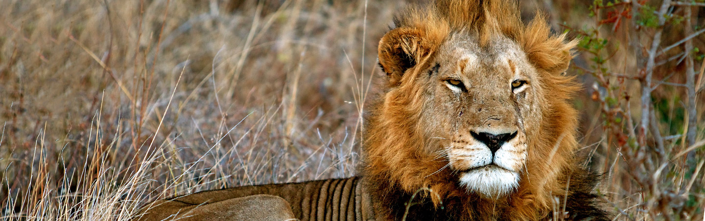 Lion - Backroads South Africa & Botswana Family Breakaway Multisport Adventure Tour