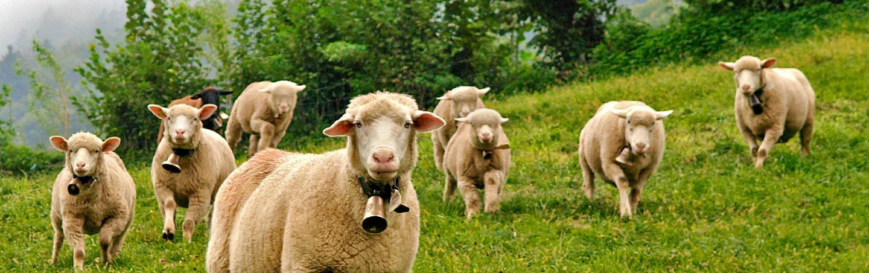 Sheep - Backroads Switzerland Family Breakaway Multisport Tour