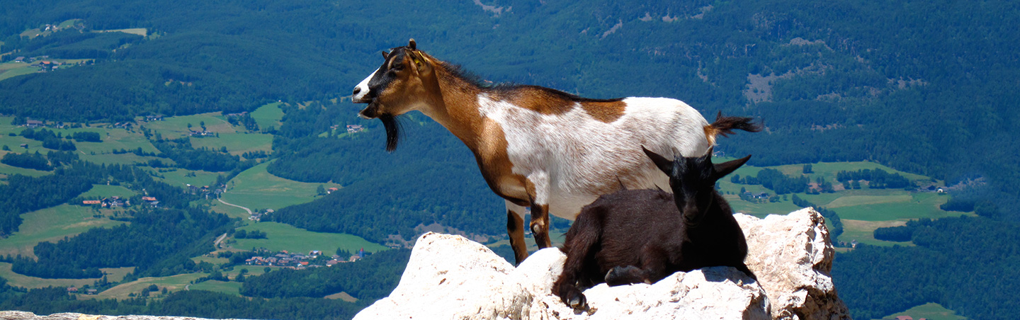 Mountain Goats in the Dolomites, Italy