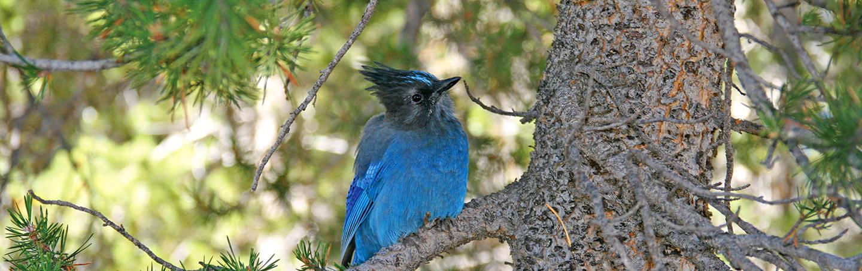 Blue Jay, Backroads Yosemite Multisport Tours