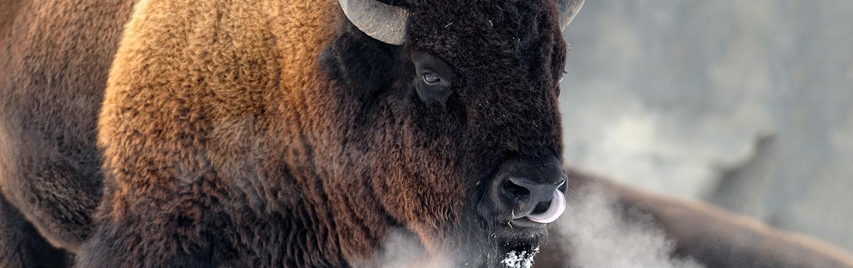Bison, Yellowstone winter wildlife tours