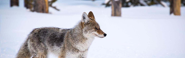 Yellowstone wolf in winter