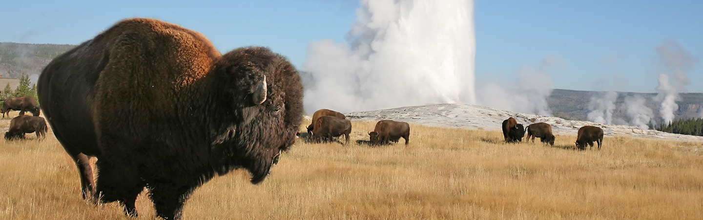 Bison at Old Faithful Geyser, Yellowstone National Park, Wyoming