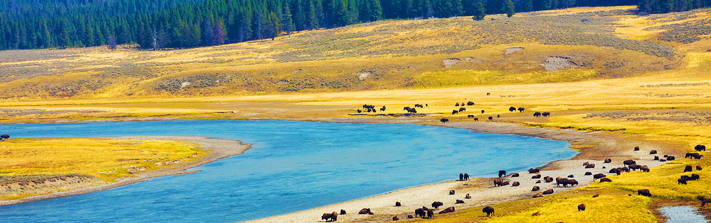 Bison - Backroads Yellowstone & Tetons Family Breakaway Multisport Adventure Tour