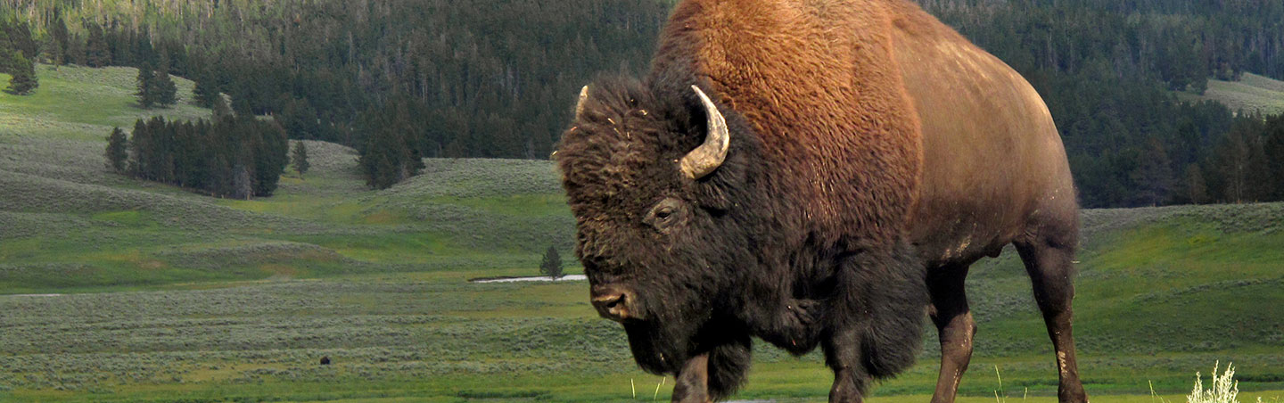 Bison - Backroads Yellowstone & Tetons Wildlife Safari Family Multisport Adventure Tour