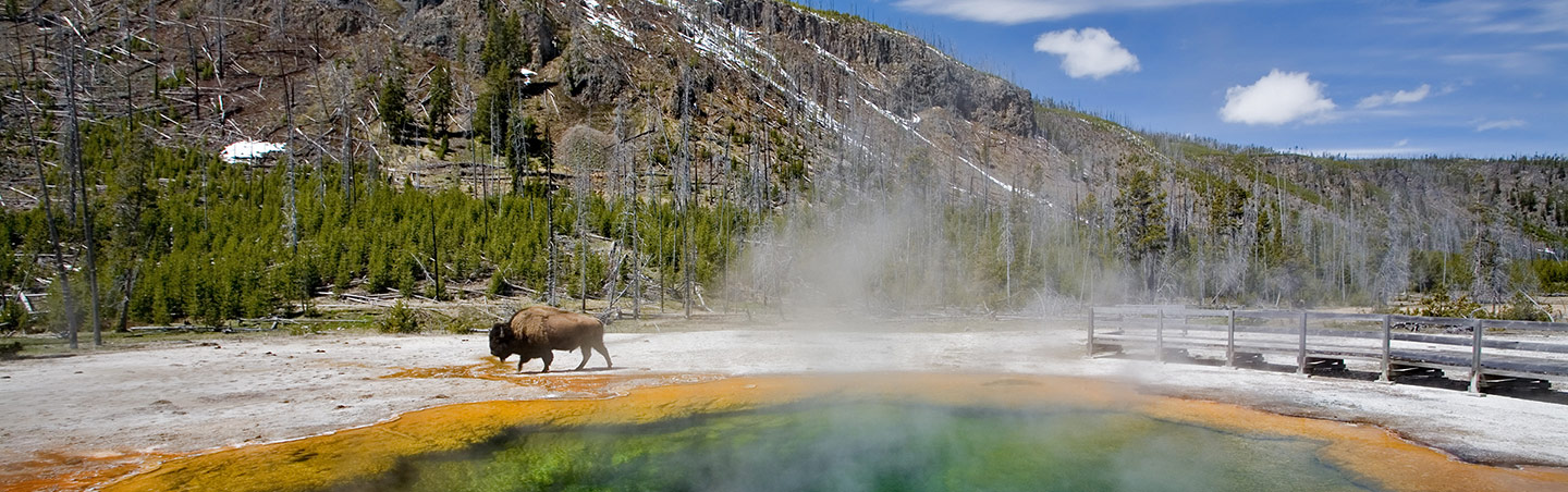 Bison near Morning Glory Pool, Yellowstone National Park, Wyoming