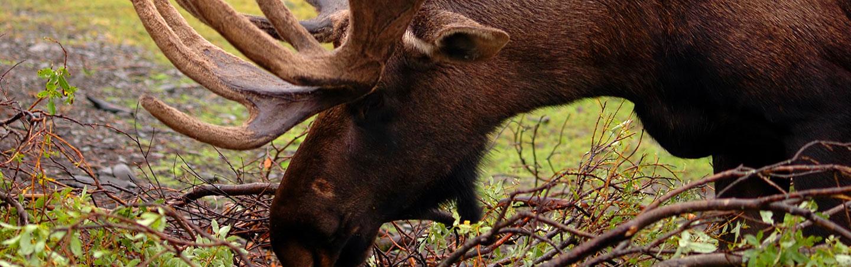 Moose - Backroads Alaska Family Breakaway Walking & Hiking Tours