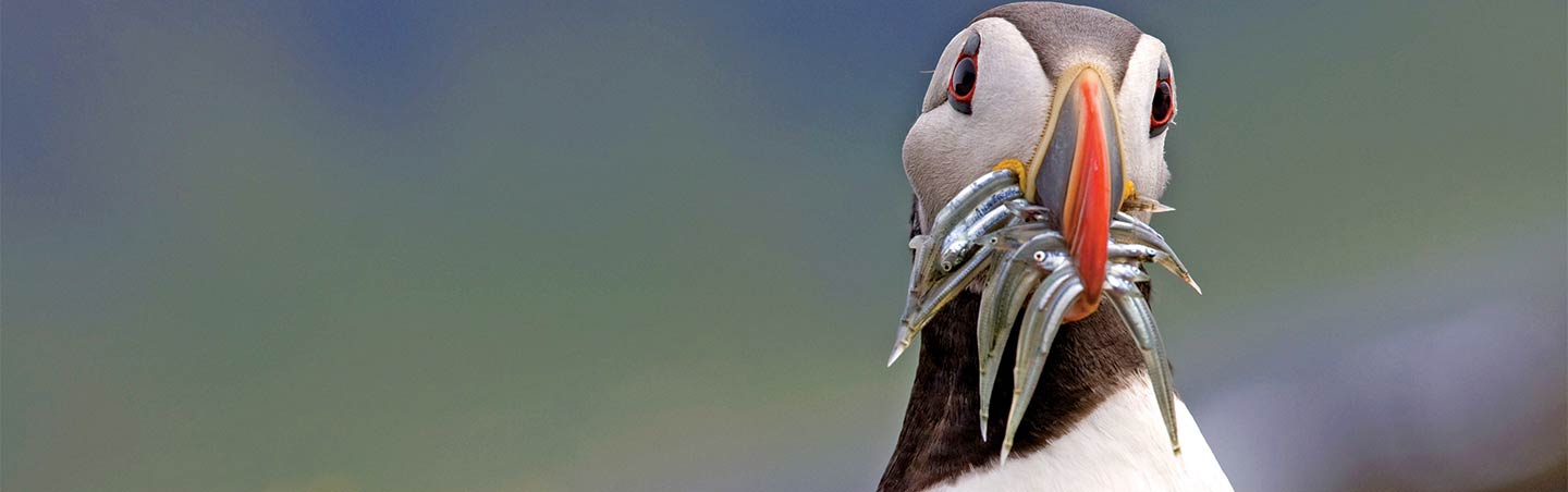Puffin with mouthful of fish on Backroads Iceland Family Multisport Tour