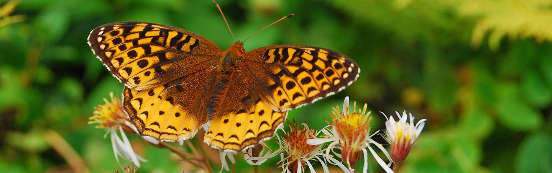 Nova Scotia Butterfly