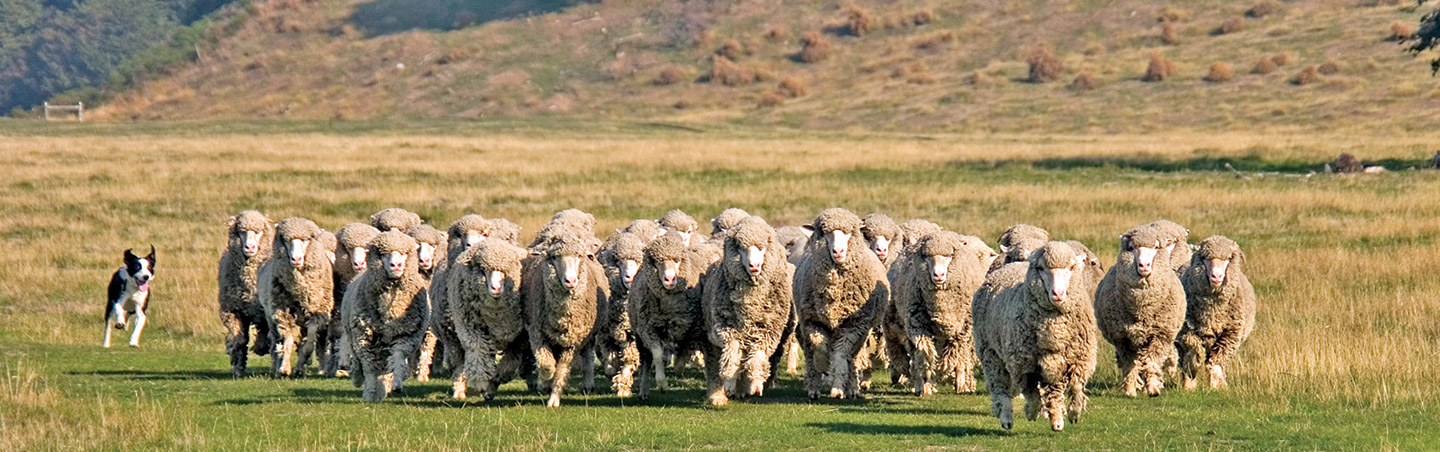 Herding sheep - Backroads New Zealand Hiking & Walking Tours