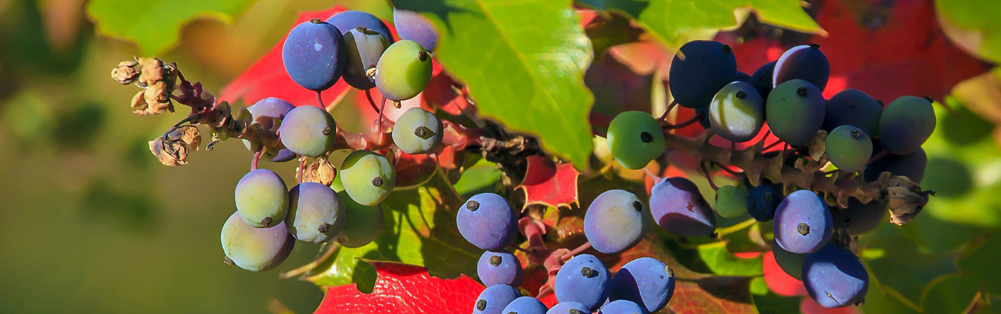 Wine Grapes - The San Juan Islands, Victoria & Olympic National Park Walking & Hiking Tour