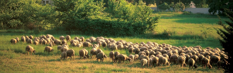 Sheep, Provence, France