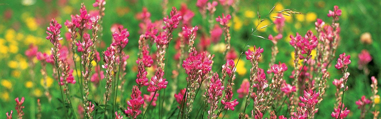 Swiss Alps spring wildflowers