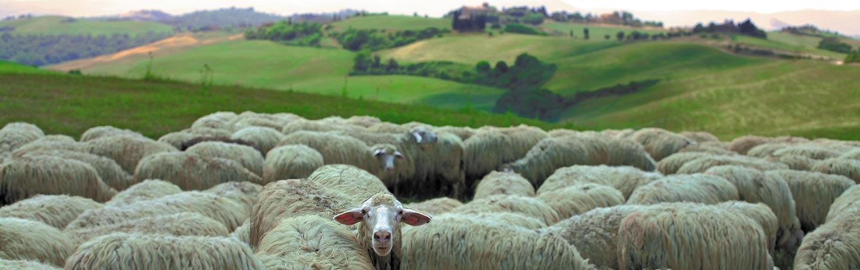 Sheep on Backroads Tuscany & Umbria Walking & Hiking Tour