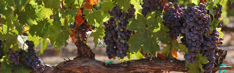 California Wine Country vineyard