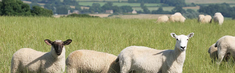 Sheep - Backroads England Family Breakaway Bike Tour
