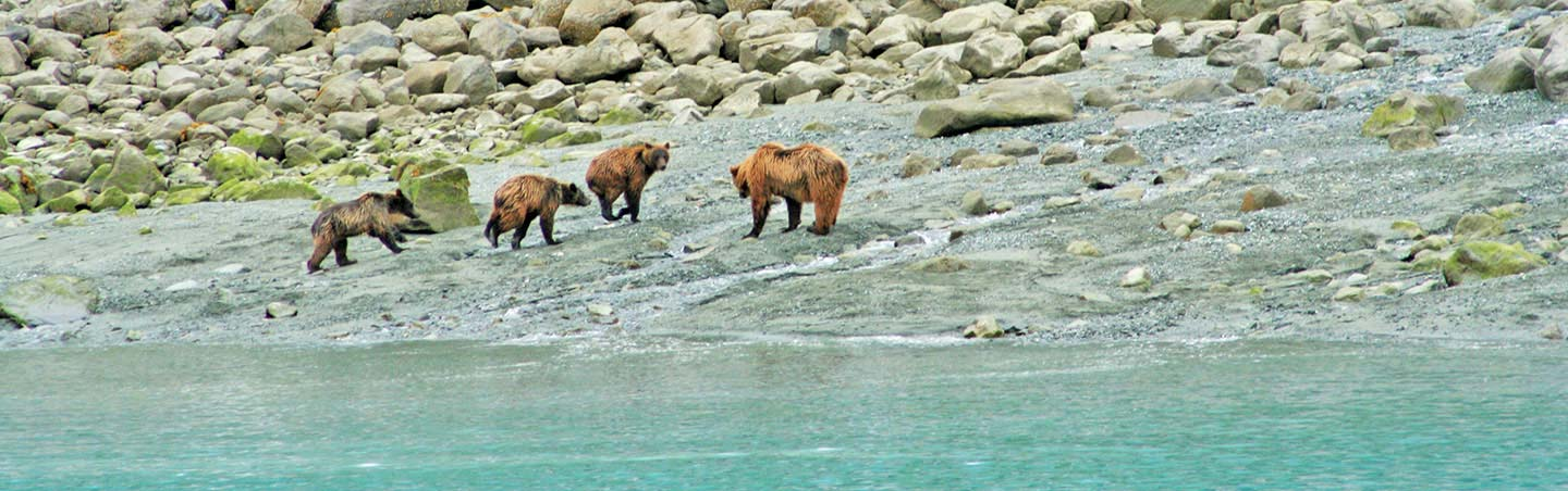 Alaskan Grizzly Bears - Backroads Prince William Sound to Denali Multisport Tour