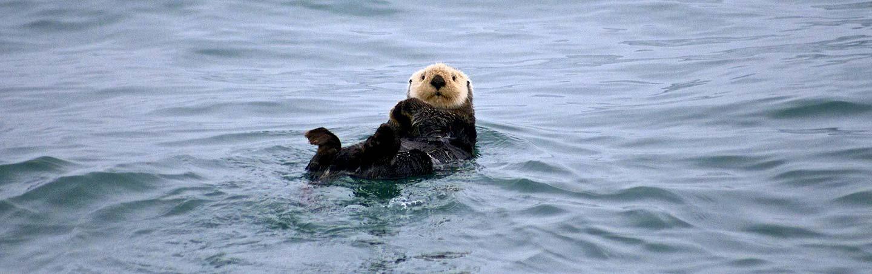 Sea otter on Backroads Alaska Family Multisport Adventure Tour
