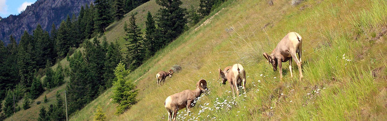Big horn sheep - Backroads Canadian Rockies Multisport Adventure Tour