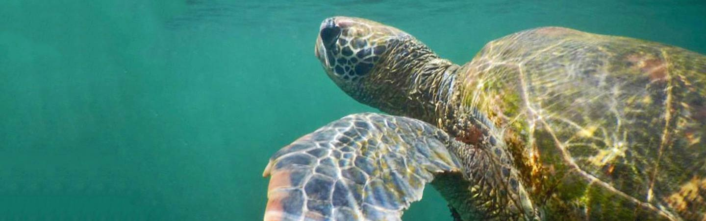 Sea Turtle - Backroads Galapagos & Andes Multisport Adventure Tour